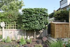 Crown Topiary - Pleached