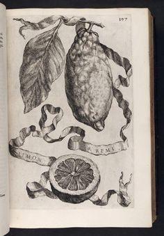 Limon St. Remi, from: Hesperides, sive, De malorvm avreorvm cvltvra et vsv libri quatuor /Io: Baptistae Ferrarii - 1646