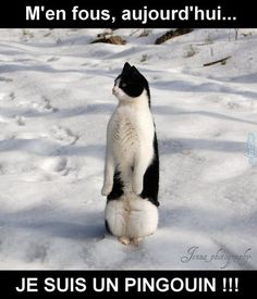 Do you know why the penguin's belly is white, the back is black? A: because penguins take a shower can wash to the stomach. Baby Animals, Funny Animals, Cute Animals, Crazy Cat Lady, Crazy Cats, I Love Cats, Cool Cats, Gatos Cool, Tier Fotos
