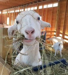 Let this smiling goat make you smile for a minute!