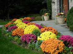 Fall mums - brighten the walkway entry
