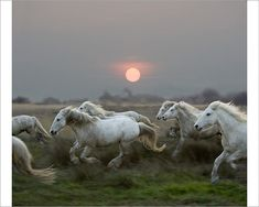 An poster sized print, approx (other products available) - Camargue Horse, Herd Galloping At Sunset, Saintes Marie De La Mer In The South Of France - Image supplied by Animals Animals - Poster printed in Australia All The Pretty Horses, Beautiful Horses, Animals Beautiful, Tolkien, Horse Galloping, Majestic Horse, Wild Mustangs, Draft Horses, White Horses
