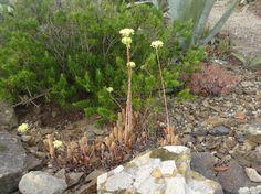 Succulent in bloom this July - Menorca garden
