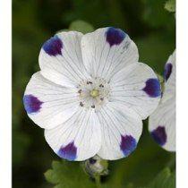 Five Spot (nemophila) 10 Sementes Linda Planta Ornamental