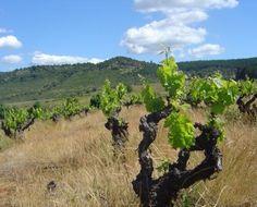Carignan, o segredo escondido do Chile  http://winechef.com.br/carignan-o-segredo-escondido-do-chile/  Se falarmos de vinhos do Chile e de suas uvas mais importantes, teremos sempre que falar de Carmenere, a uva já conhecida por todos e que foi e é (como é o Malbec para argentina) a bandeira da viticultura deste país. Mas o segredo é que...