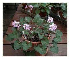 Kuvahaun tulos haulle pelargonium australe redondo