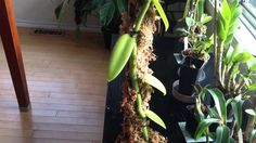 Orchid Care: Growing Vanilla Orchids : My care and culture tips in the h...
