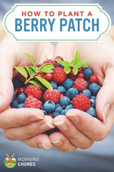 Growing Berries: How to Plant a Berry Patch (Strawberries, Blueberries, etc.) #vegetablegardening