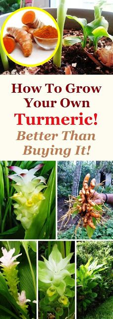 HOW TO GROW YOUR OWN TURMERIC! BETTER THAN BUYING IT!