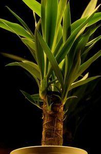 The Highest Oxygen Yielding House Plants thumbnail: snake plant, rubber plant, spider plant