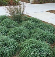 Golden Sedge Carex oshimensis /'Everillo/' X 3 Large Plug Plants Free Delivery!!