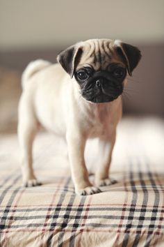 Pug puppy. This one is SO cute!
