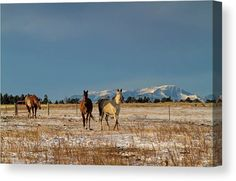 Beautiful Horses, Beautiful Images, Wall Art For Sale, Gifts For Horse Lovers, Stretched Canvas Prints, Fine Art America, Pony, Original Artwork, Canvas Art
