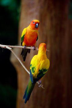 Conure Soleil // Sonnensittich // Jandaia-Amarela // Sun Parakeet (Aratinga Solstitialis) #animalia #aves #psittacidae #arinae