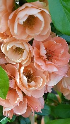 Chaenomeles Superba Cameo, peach coloured flowering Japanese Quince for sale. Ornamental Quince tree to buy online UK Peach Flowers, Flowers Nature, Peach Colors, My Flower, Flower Power, Mixed Border, Chaenomeles, Foundation Planting, Flowering Shrubs