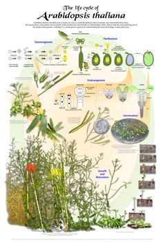 life cycle-classification posters from University Wisconsin-Madison-Botany Outreach Store