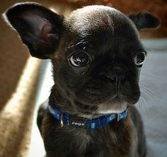 'Itty Bitty', French Bulldog Puppy.