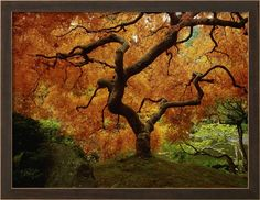 Maple Tree in Autumn Photographic Print by John McAnulty at AllPosters.com