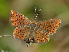 Little Metalmarks butterfly always a joy to see, Coastal Plain, North Carolina