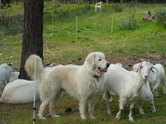 River, a long-coated Akbash working a flock of goats.