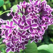 A rare lilac which will delight you with its great trusses of tiny purple-red flowers, each petal of which is edged in white, creating a beautiful bicolour effect. Flowers May-June. Height 5m. Supplied in a 3 litre pot.Originally introduced from the mountains of South-Eastern Europe in the 16th century, these hardy, deciduous shrubs have since spawned many outstanding garden varieties. Ideal for planting as a single specimen in the midst of a lawn, or at the back of a sunny border. Landscaping Ideas, Backyard Ideas, Garden Landscaping, Inside Plants, Eastern Europe, 16th Century, Red Purple, Red Flowers, Helpful Tips