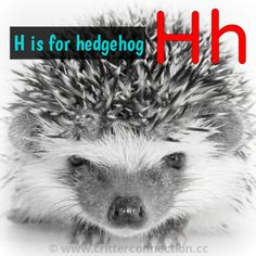 #hedgehogs #hedgies #cute #quills  #millermeade www.critterconnection.cc