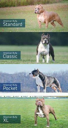 Breeds of American bully dog American Bully Classic, American Bully Pocket, American Bullies, American Pitbull, Beautiful Dogs, Animals Beautiful, Cute Animals, Wild Animals, Baby Animals