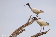 Australian White Ibis, Reedy Lakes, Kerang Pentax K-3, Sigma 300mm f/2.8, ISO 400, f/5.6 1/640 (Polariser)