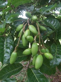 Canarium ovatum, commonly known as pili, is a species of tropical tree belonging to the genus Canarium. It is one of approximately 600 species in the family Burseraceae. Pili are native to maritime Southeast Asia, and are commercially cultivated for their edible nuts.