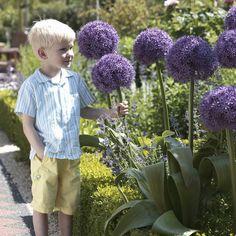 Globemaster Alliums