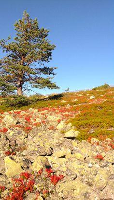 Levitunturi hehkuu ruskan väriloistossa. Finland, Lapland