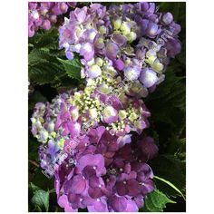 Hydrangea purple - Home Gardening for Beginners Purple Flower Photos, Purple Flowers, Hydrangea Flower, Hydrangeas, Purple Plants, Gardening For Beginners, Beautiful Images, Different Colors, Floral Wreath