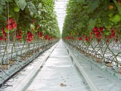 Hydroponic Tomato Cultivation: Hydroponic Tomatoes Nutrient Solution, Profit In Hydroponic Tomato Growing, Hydroponic Tomato Plant Spacing, Cost of Hydroponic Tomato Farming Hydroponic Tomatoes, Hydroponic Farming, Hydroponic Growing, Aquaponics Plants, Greenhouse Tomatoes, Hydroponic Vegetables, Tomato Farming, Aquaponics System, Agriculture Verticale