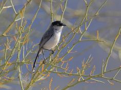 Black-tailed Gnatcatcher. Mar 25, 1989                         *Foothills, AZ at Fortuna Wash Photo by bobsofpaTucson Mountain Park, Arizona, USA, May 2010