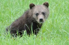 Animal Babies and Animal Adults Grizzly Bear Cub, Bear Cubs, Bears, Baby Animals, Cute Animals, Animal Babies, Brown Bear, Google Search, Cutest Pets