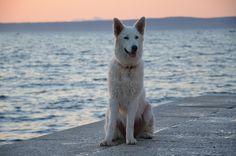 White Swiss Shepherd on the sea