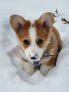 Awwww Cute Corgi puppy in the snow Cute Corgi, Corgi Dog, Cute Puppies, Dogs And Puppies, Beagle Puppies, Corgi Pembroke, Cute Funny Animals, Cute Baby Animals, Animals And Pets
