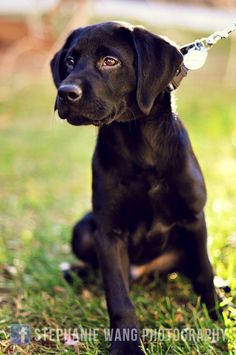 black labrador. A very beautiful dog.