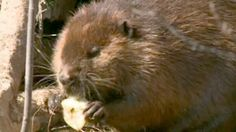 Beaver family takes up residence with Maritime couple