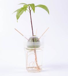 How to Grow Avocado Plants From Pits | Apartment Therapy