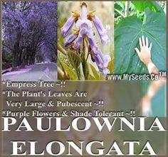 Paulownia Elongata Tree Seeds, aka Empress Tree - Large Leaves, Shade Tolerant
