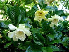 Nome Botânico: Gardenia jasminoides J. Ellis Nomes Populares: gardênia, jasmim do cabo Família: Família Rubiaceae Origem: Originário da China.  Arbusto de médio porte, até 2,0m de altura, forma...