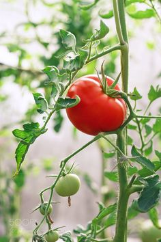 Red tomatoes by Alexander Lappo - Photo 174394311 / Tomato Vine, Red Tomato, Tomato Garden, Fruit Garden, Vegetable Garden, Autumn Garden, Summer Garden, Eat A Peach, Summer Tomato