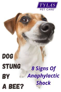 It can be scary if your dog has been stung by a bee, especially if they have a serious reaction to a bee sting. Learn how to know if your dog has been stung by a bee and the symptoms. We have included home remedies to relieve the pain, the best way to remove the stinger and when it is time to go to the vet. #bees #dogs #dogstungbybee #homeremedies #pets #petcare Dog Dental Care, Pet Care, Bee Sting Reaction, Dog Bee Sting, Treating Bee Stings, Remedies For Bee Stings, Dog Cone, Dog Treats, How To Know