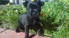 French Bullhuahua (French Bulldog Chihuahua Mix) Info, Puppies ...
