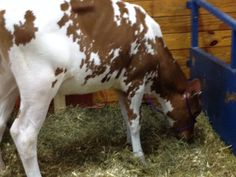 this cow is a clone !!!.... Of another cow!