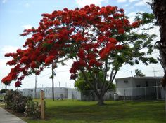 Royal Poinciana    Flamboyant Tree (Delonix regia). Related to the Tamarind and mimosa tree, this native of Madagascar The older the tree, the more intensely it will bloom.     The Poinciana is rated to a tall 40 feet.