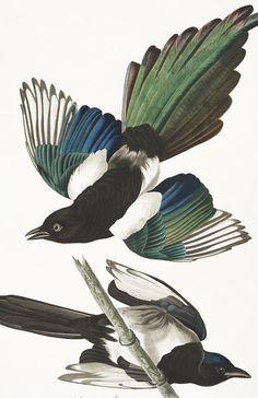 American Magpie | John James Audubon's Birds of America (TAG: ILLUSTRATION; LINK => HI RES IMAGE DOWNLOAD; AUDOBON WEBSITE FOR MORE; PUBLIC DOMAIN)