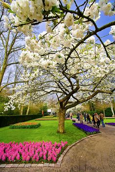 SOMEDAY THIS IS MY WISH, GO TO THE NETHERLANDS !!!!. Wide White Blossom, Keukenhof, Netherlands