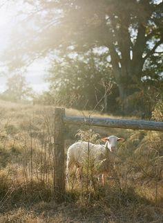 Beautiful lighting in this sheep shot.